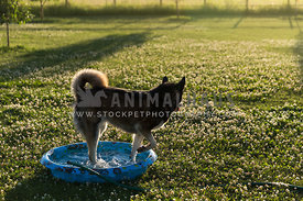 Husky Dog Playing in Pool