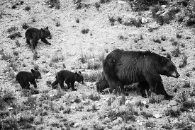 5057-Ours_bruns_du_Yellowstone_Wyoming_2014_Laurent_Baheux