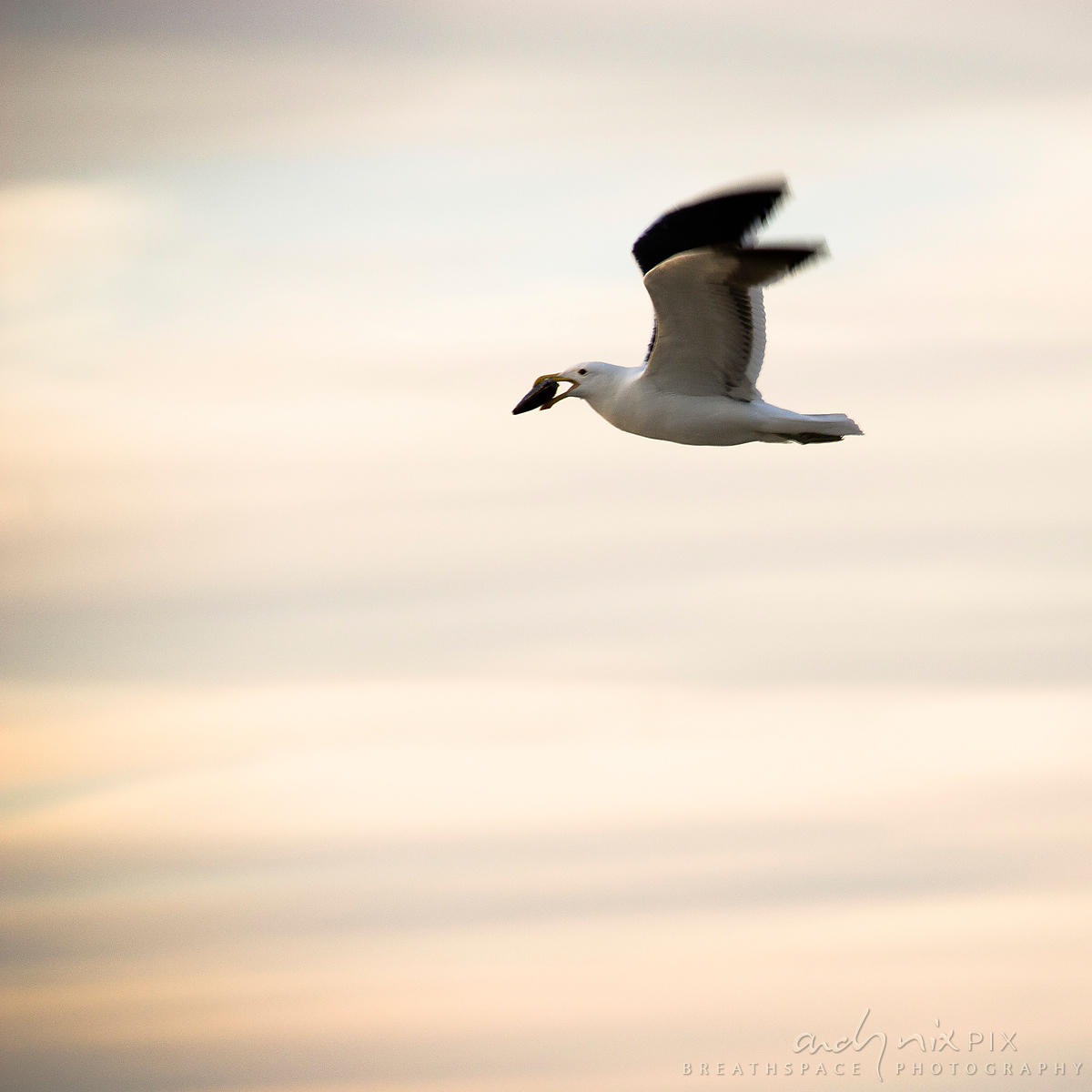Motion blur - one seagull flying along beach at sunrise, clouds behind