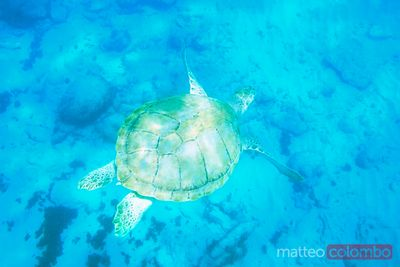 Sea turtle underwater in the Barbados, Caribbean