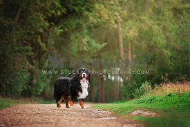 bernese mountain dog standing on woodland trail