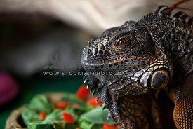 close up headshot of iguana (side view)