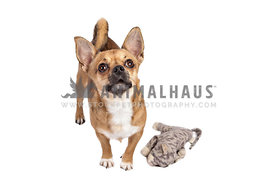 chihuahua on white backdrop looking up with soft toy cat beside
