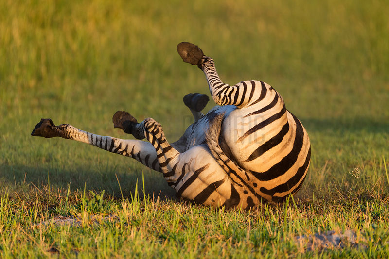 Burchell's Zebra Rolling in Dust