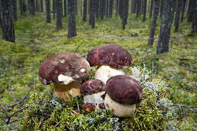 Pine Bolete (Boletus pinophilus) in pine forest