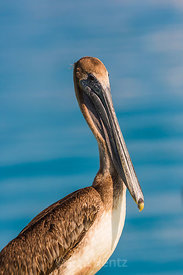 Brown Pelican in Dry Tortugas National Park