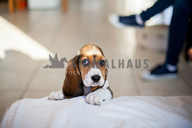 Basset hound puppy cute side eye look, up to no good