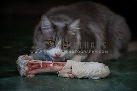 grey cat feeding on big turkey bone, sticking out his tongue