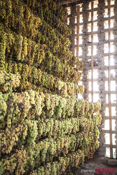 Green grapes hanging to dry and produce raisins