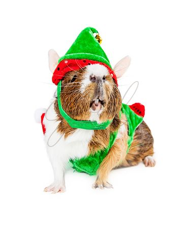 Funny Guinea Pig Wearing Christmas Elf Costume