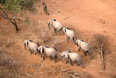 Elephant (Loxodonta africana) orphans follow the lead keeper while on a walk in Tsavo National Park. Near David Sheldrick Wil...