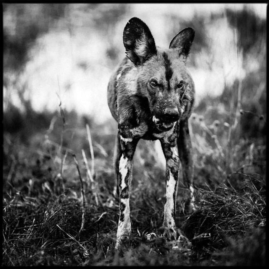 6340-Wild_dogs_Laurent_Baheux