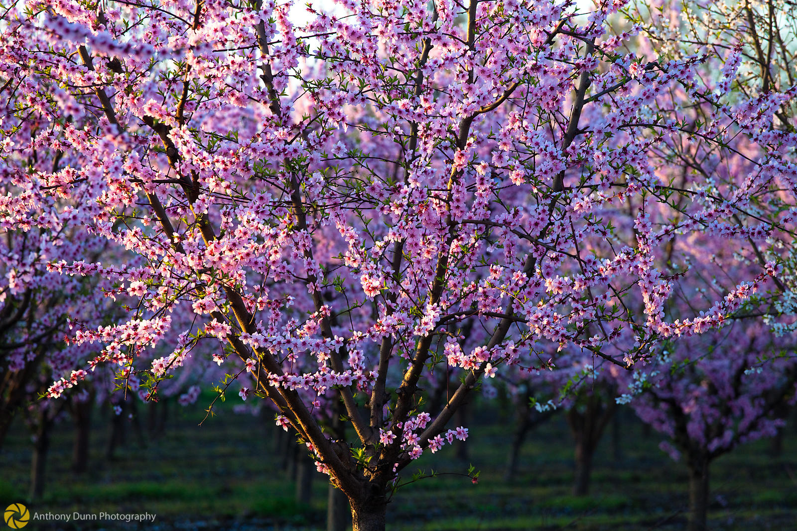 Peach Orchards in Bloom #9
