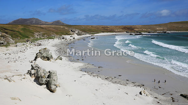 Three Gentoo Penguins (Pygoscelis papua papua) on Green Rincon Beach, Pebble Island, Falkland Islands