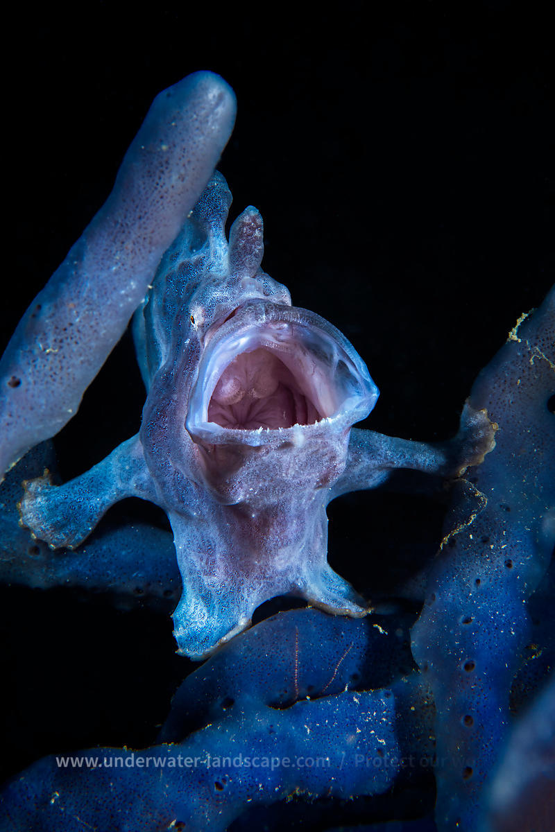 The crying Frogfish
