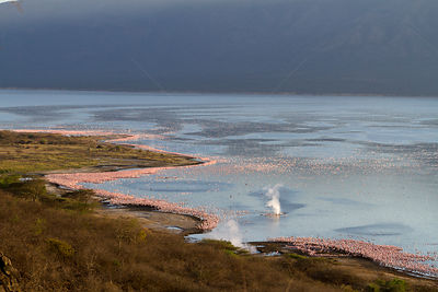 Lesser flamingo (Phoeniconaias minor) aerial view of flock and geyser, Bogoria Game Reserve, Kenya