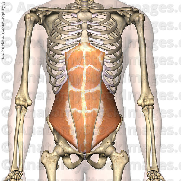 torso-abdominal-muscles-musculus-rectus-abdominis-transversus-abs-front-skin