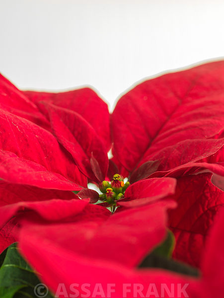 Beautiful Poinsettia flowers on plant
