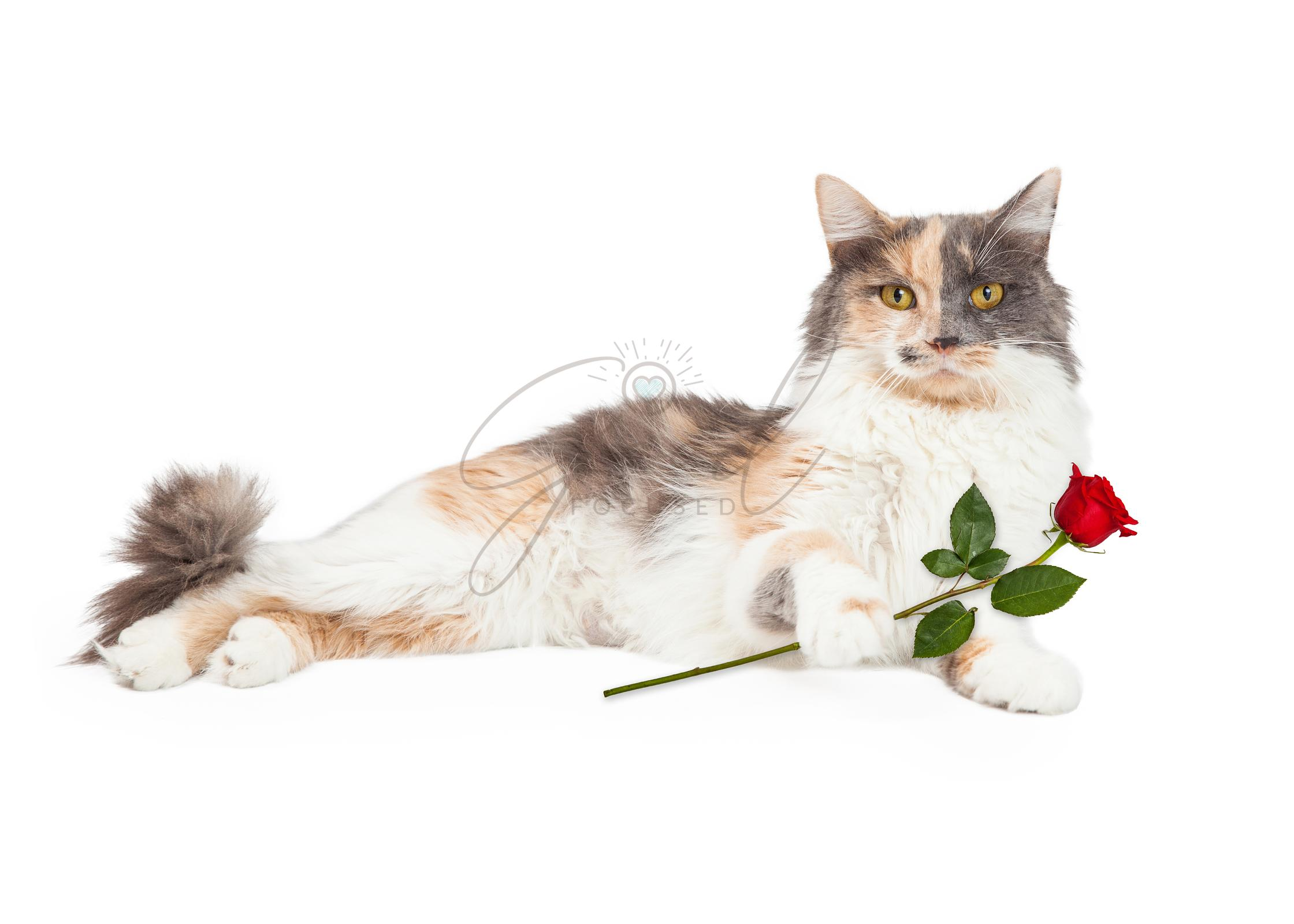 Calico Cat Holding Red Rose