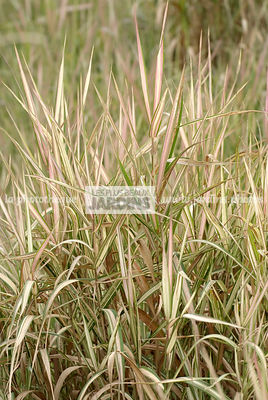 Phalaris arundinacea 'Feesey', Collection Pépinières Lepage