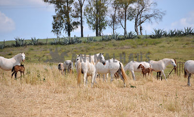 mares and foals in a field in Spain