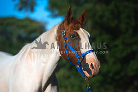 close up of white horse with brown and white face wearing royal blue bridle