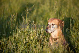 ranch dog sits in tall grass enjoying the evening sun