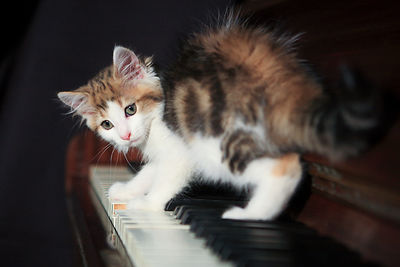 Chaton sur un piano, France / Kitten on a piano, France