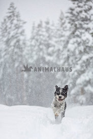 Dog running in snow storm