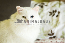 fluffy white cat on bed with two different colored eyes
