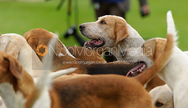 Fitzwilliam Hunt hounds - The Parade of Hounds,  Land Rover Burghley Horse Trials 2013.