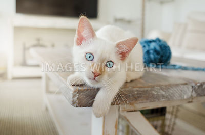 White cat at corner of coffee table with paw hanging off