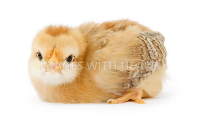 A baby yellow chicken isolated on white