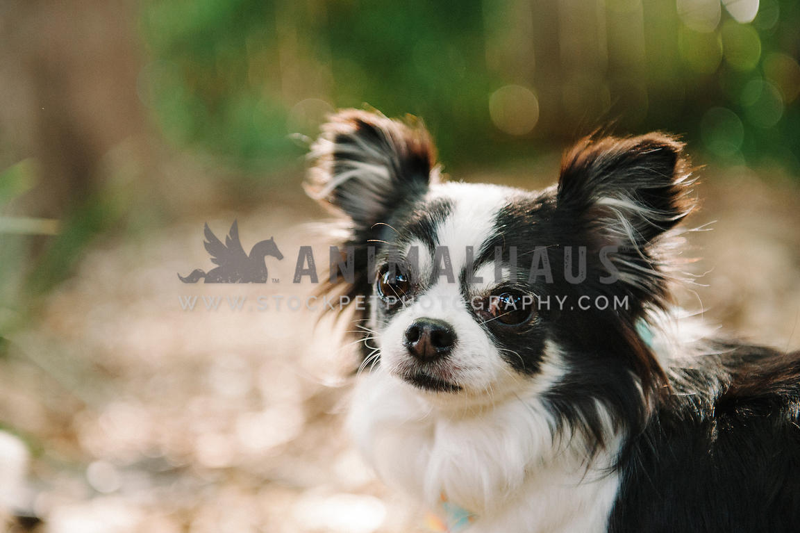 Animalhaus Media Older Long Haired Chihuahua Looks Back At