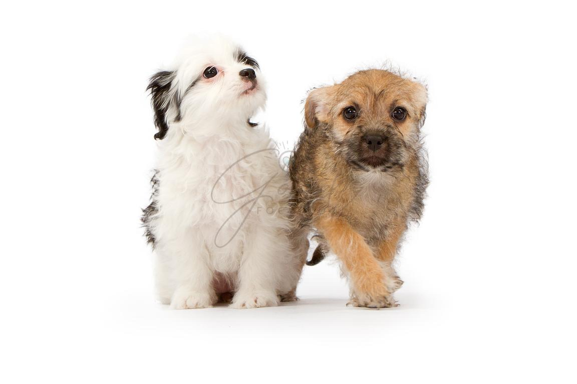 Susan Schmitz Photography Two Puppies On White Background