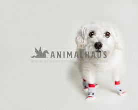Dog wearing monkey socks on white background