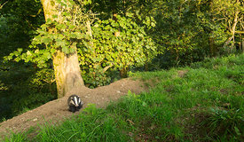 Badger Habitat