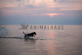 Silhouette of dog jumping in water on beach at sunset