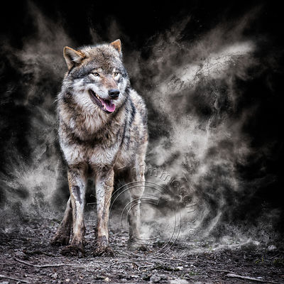 Alain Thimmesch|Photo animalière et Art digital|Loups