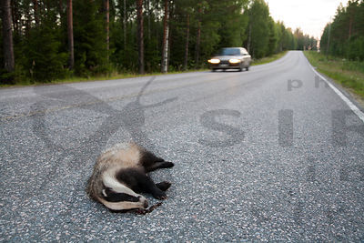 Badger killed by car accident