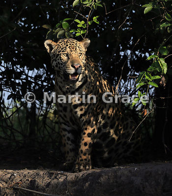 Male Jaguar (Panthera onca) known as Marley, in early morning dappled sunlight and looking to our right, River Cuiabá, Northe...
