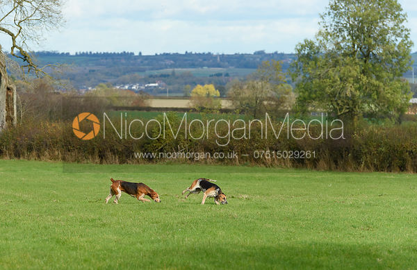 Quorn hounds. Quorn Hunt Opening Meet 2018