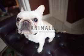 french bulldog or frenchie sitting on brown leather couch