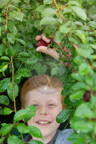 A ten year old boy picking plums from a tree.