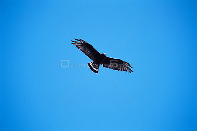 Zone tailed hawk soaring {Buteo albonotatus} Arizona, USA