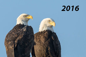 Front Cover - Bald Eagles