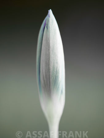 Closed crocus flower, side view