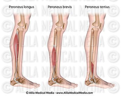 Peroneal muscles unlabeled