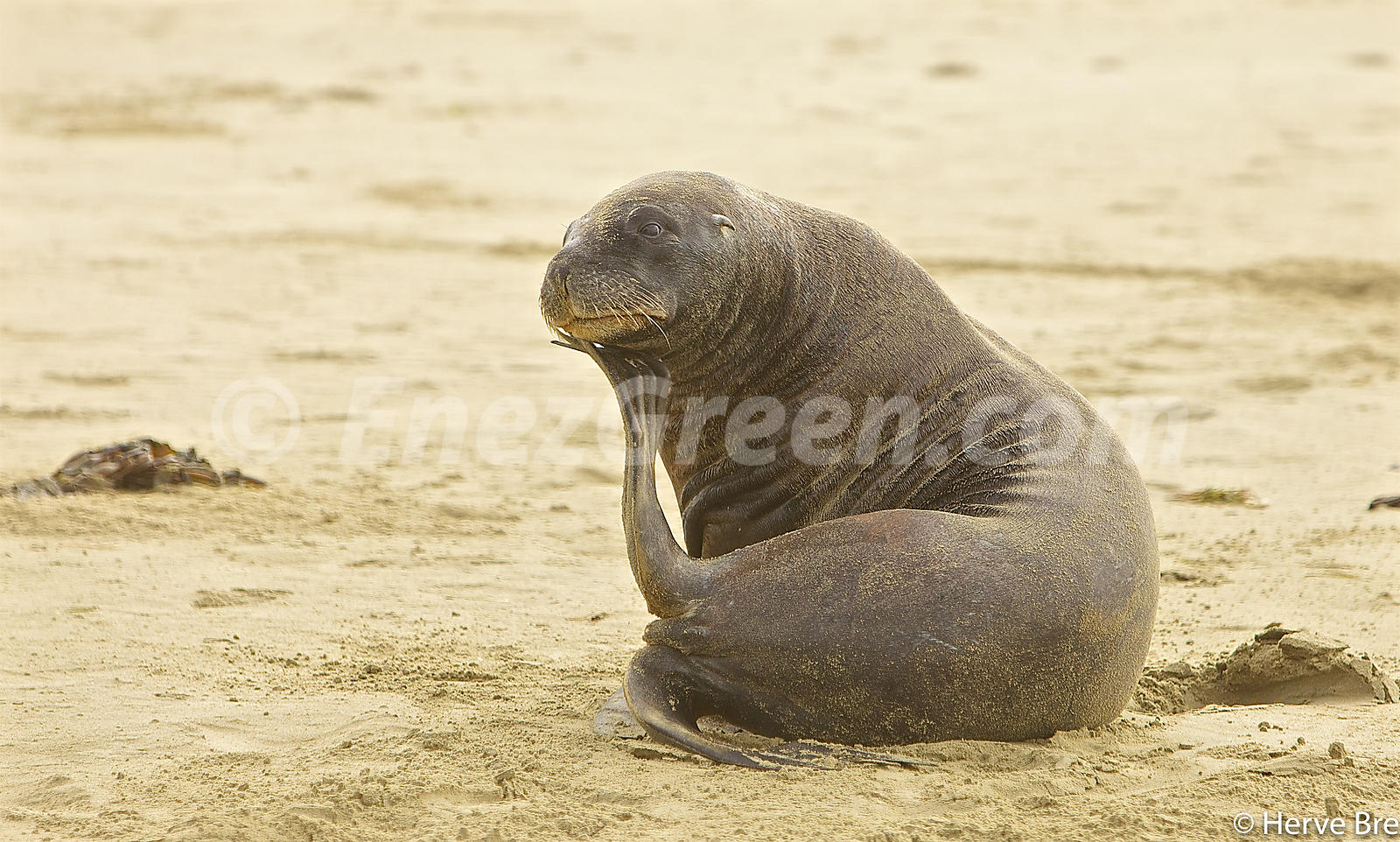 Sea Lion in Surat bay South Island New-Zealand
