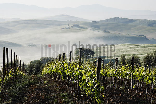 Italy, Tuscany, San Quirico d'Orcia, grapevines in field with mist